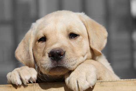 Labradour puppy 'Nala'