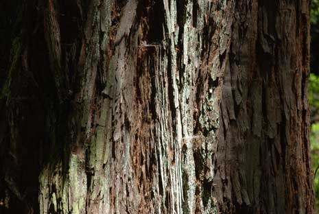 Redwood tree closeup