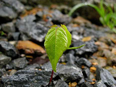 Young sapling growing out of the rocks