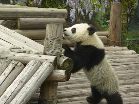 Young panda bear exploring a wood deck