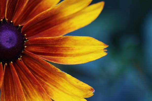 Color gradient transition on the petals of a Black eyed Susan