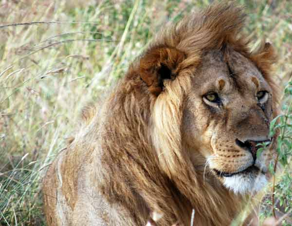 A dominant  male lion