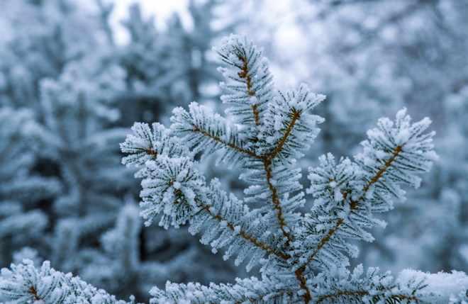 Snowy tree top