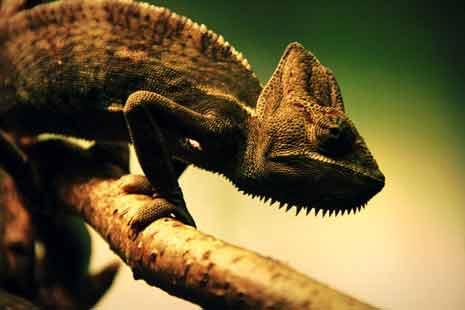 Iguana adapting to it's environment