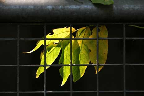 Yellow leaves constrained by an iron gate